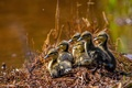 Picture Chicks, ducklings, brood