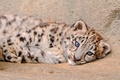 Picture lies, fluffy, IRBIS, snow leopard, kitty, looks
