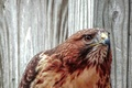 Picture portrait, look, predator, hawk, red-tailed Buzzard, Buzzard, bird, Buteo jamaicensis, Red-tailed hawk