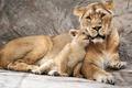 Picture lioness, cub, lion, mother