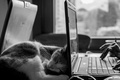 Picture cat, sleep, black and white, cat, laptop
