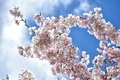 Picture the sky, clouds, branches, cherry, spring, Sakura, flowering