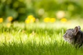 Picture grass, lawn, cat