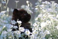 Picture kitty, black, chamomile, small, lawn