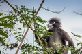 Picture Trachypithecus obscurus, Eyeglass encotel, The primacy of
