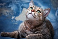 Picture cat, blue, muzzle, green-eyed, striped, looking up, divorce, background, lies, look, cat