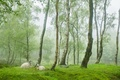 Picture sheep, fog, sheep, trees, England, village, greens, Peak District, Stanton Moor, spring