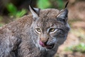 Picture lynx, predator, face, licked, wild cat, language