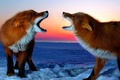 Picture PAIR, RED, FOX, WINTER, SNOW
