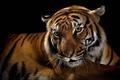Picture tiger, predator, wild cats, black background