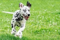 Picture dog, dalmatian, animals, Summer