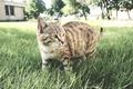 Picture iran, ardabil, cat