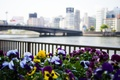 Picture flowers, flowers, bridge, Pansy, river, capital, city, fence, the city, capital, building, river, Tokyo, Japan, ...