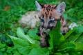 Picture animals, grass, leaves, nature, predator, cub, Puma