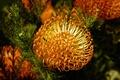 Picture yellow, Bud, Emi, chrysanthemum, chrysanthemum, beautifull, yellow, flower, leaves, flower