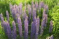 Picture flowers, Lupin, nature, grass, lilac, plant