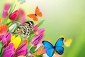 Picture flowers, flowers, spring, yellow, butterflies, purple, tulips, tulips, butterfly, colorful, fresh, beautiful, spring