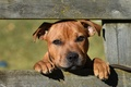 Picture face, Staffordshire bull Terrier, the fence, look, dog