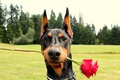 Picture romance, Rose, Doberman, Red, Doberman With a Rose is listed
