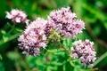 Picture summer, flowers, oregano, nature