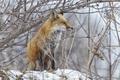 Picture Fox, snow, winter