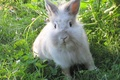 Picture summer, white fluffy, ears, Rabbit, weed
