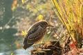Picture Heron, stumps, pond, bird, grass, branches