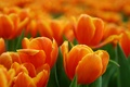 Picture flowers, orange, mood, Tulip, rusty mood
