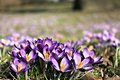 Picture flowers, field, purple, crocuses, nature, grass, spring
