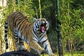 Picture cat, tiger, mouth, yawns, Amur