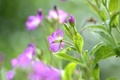 Picture flowers, blur, petals, stems, lilac, buds, leaves