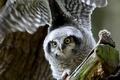 Picture bird, wings, Hawk owl