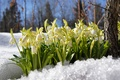 Picture forest, snow, flowers, snowdrops, beautiful
