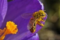 Picture flower, bee, pollen, petals, insect