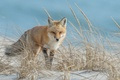 Picture nature, Fox, summer
