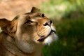 Picture head, mustache, look, background, face, Wallpaper, lioness, Leo