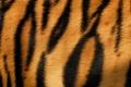 Picture fur, tiger, wool, strip