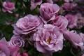 Picture flowers, nature, garden, plants, roses, petals, Bush, pink, buds