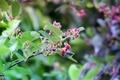 Picture greens, leaves, berries, plant, Bush, karinka, Saskatoon