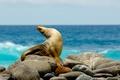 Picture stones, seal, Sea, Navy seal, sea lion