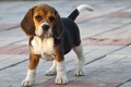Picture dog, Beagle, each