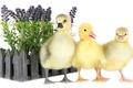Picture flowers, lavander, yellow, bird, animals, duckling, birds, animal, ducks