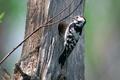 Picture tree, bird, woodpecker
