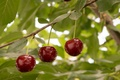 Picture summer, cherry, nature
