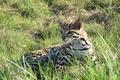 Picture cat, grass, ocelot