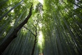 Picture tops, bamboo, clearance, bamboo, forest, trunks
