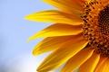 Picture sunflower, macro, nature