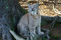 Picture animal, lynx, nature