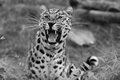 Picture leopard, grin, wildlife