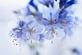 Picture flowers, blue, inflorescence